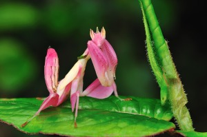 pink-orchid-mantis