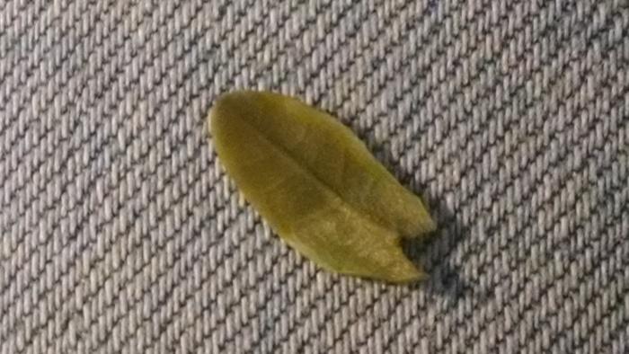 a steeped leaf unfurled.....